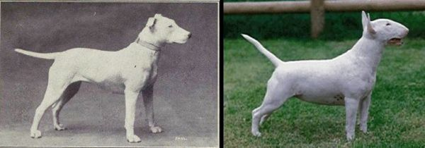 100 Years of breeding ruined these 10 popular dog breeds
