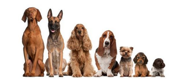 Can you guess the most popular dog breeds in america?