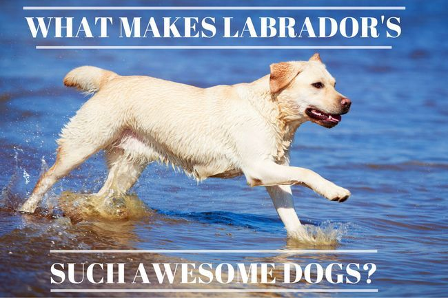 14 Reasons why labradors are such awesome dogs