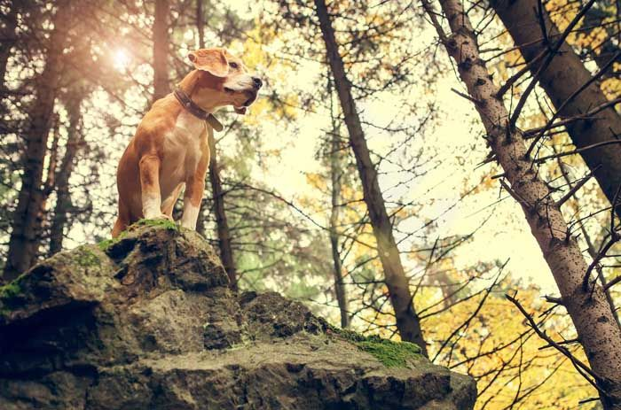 Beagle - Best Hunting Dog