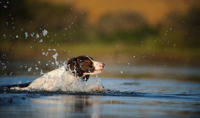 Brittany Spaniel - Best Hunting Dog