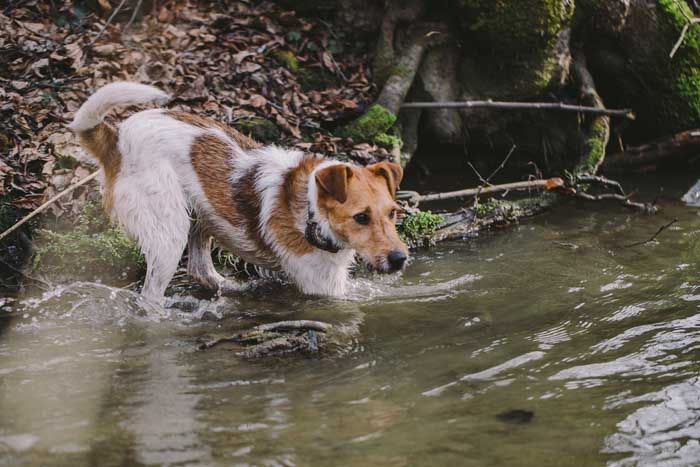 Wire Fox Terrier - Best Hunting Dog