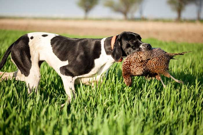English Pointer - Best Hunting Dog