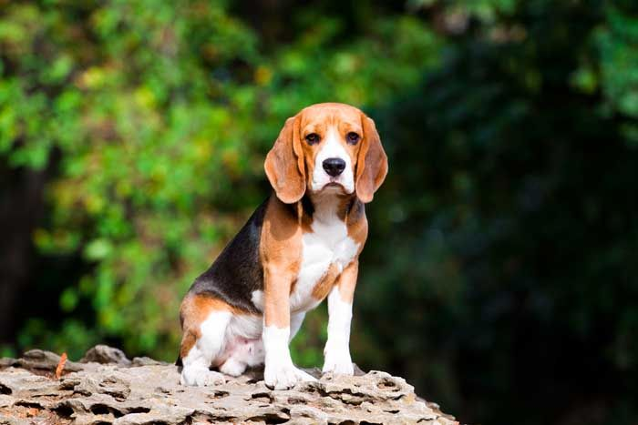 Best Small Dogs for Kids Beagle