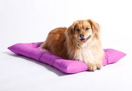 Brown dog laying on purple bed.