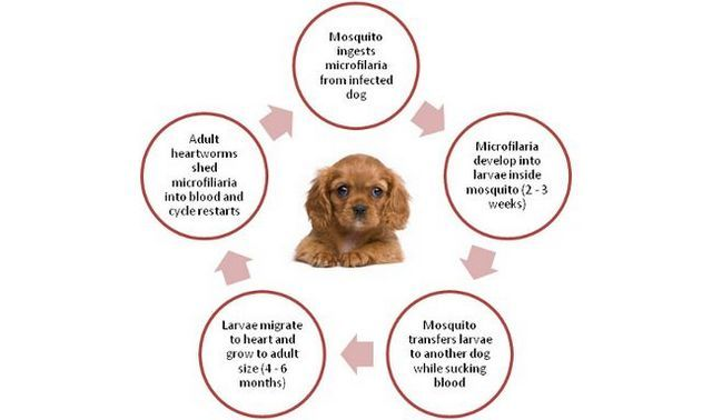 About heartworms in dogs