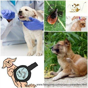 About puppy parasites