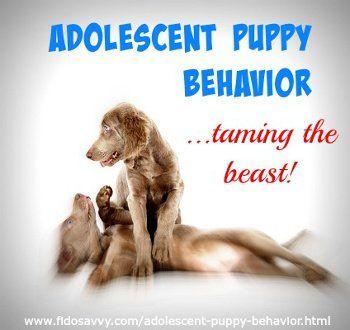 Adolescent puppy behavior