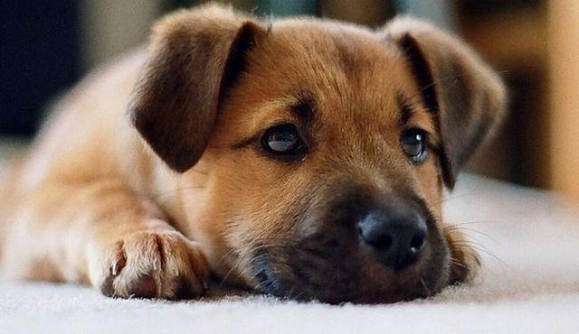 Adopting a puppy: what you need to know