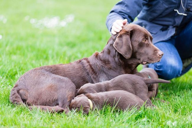 Female choc lab with suckling puppies being stroked by breeder