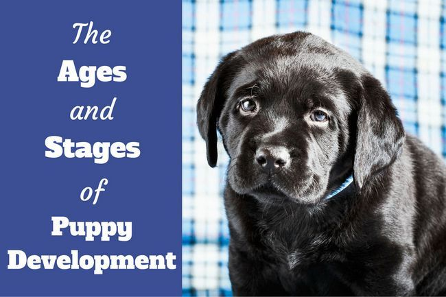 Ages and stages of puppy development week by week