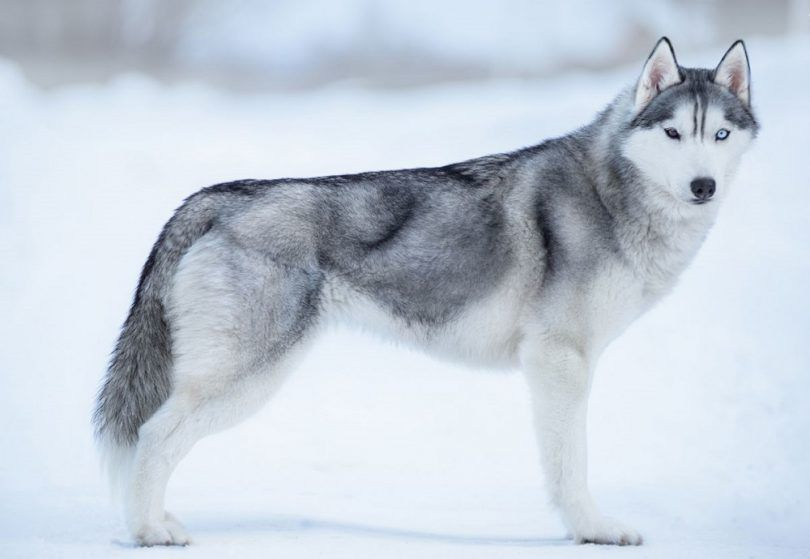 Alaskan dog breeds: the spirit of the north in your canine companion