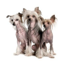 All about hairless dogs
