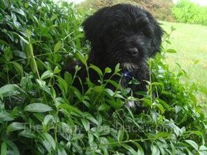 All about portuguese water dogs