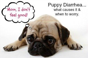 All about puppy diarrhea