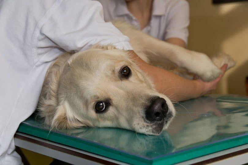 Dog immunotherapy