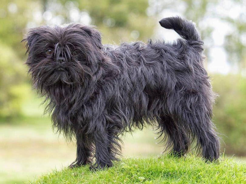 The Affenpinscher dog breed