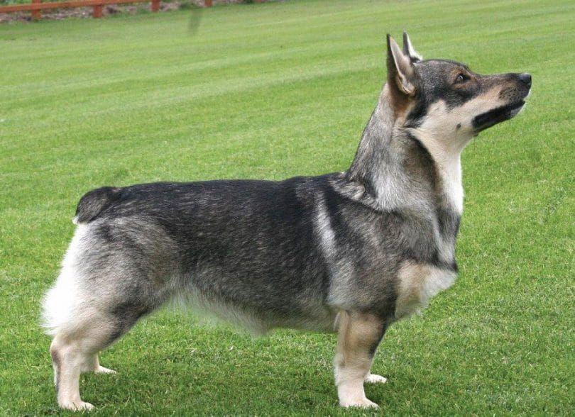 The Swedish Vallhund