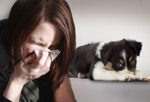 Allergy to dogs: symptoms, home relief and dogs for allergy sufferers