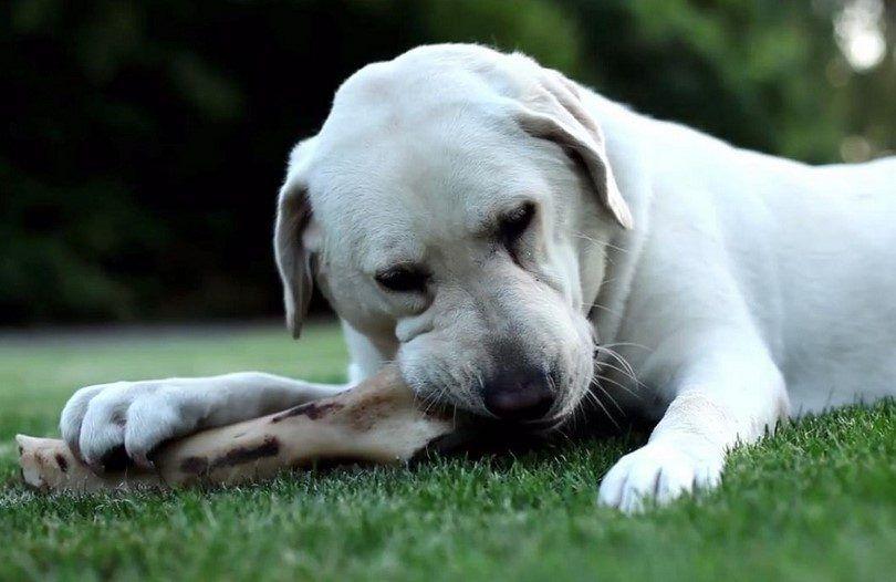 Dog chewing raw bone