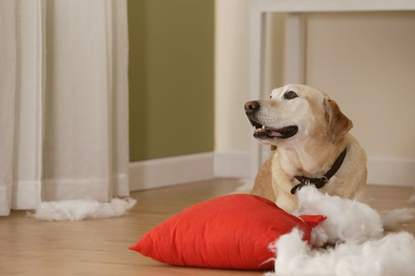 Ask the trainer: my dog destroys everything he can get his paws on!
