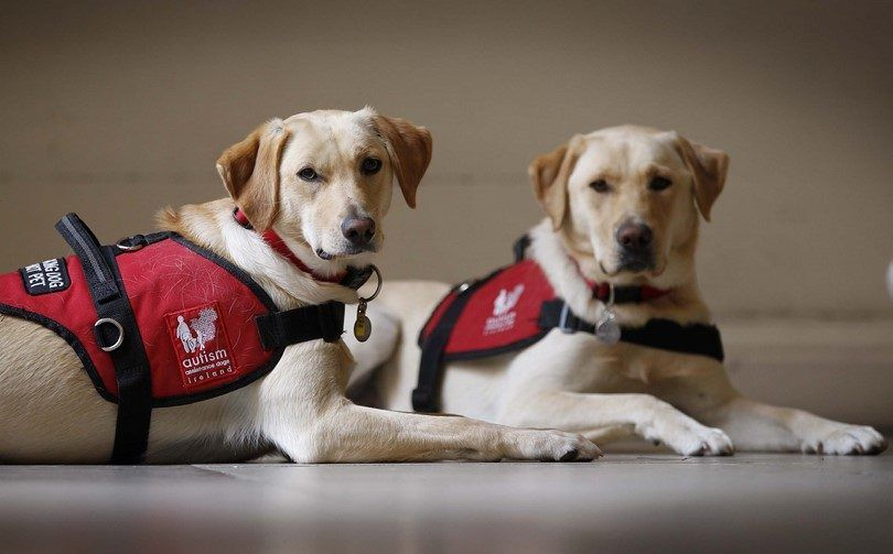 Assistance dogs waiting commands