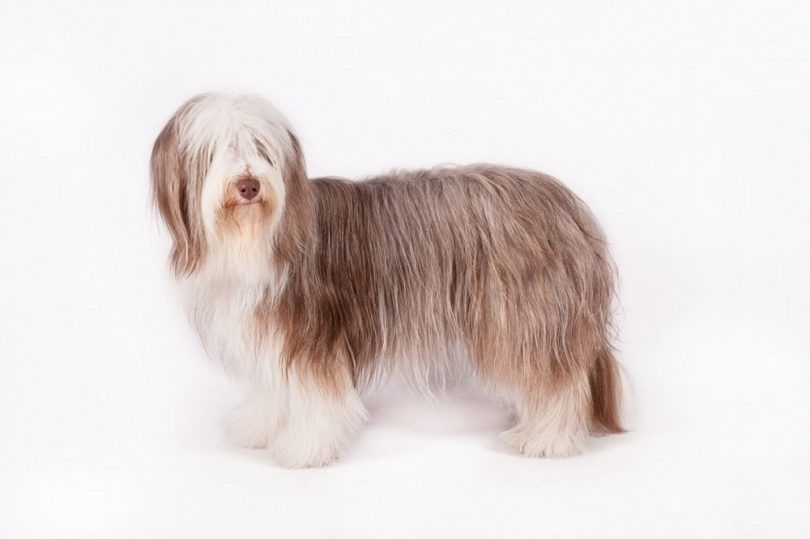 Bearded Collie dog breed