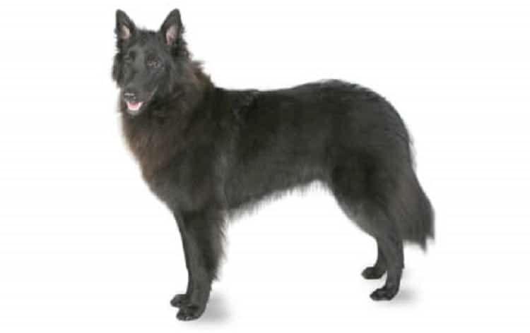 Belgian Sheepdog dog