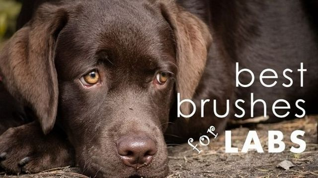 Best dog brush for labs: same as the vet (only for less)