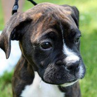 best dog for kids - boxer