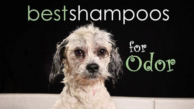 Best dog shampoo for odor: squash the stink!