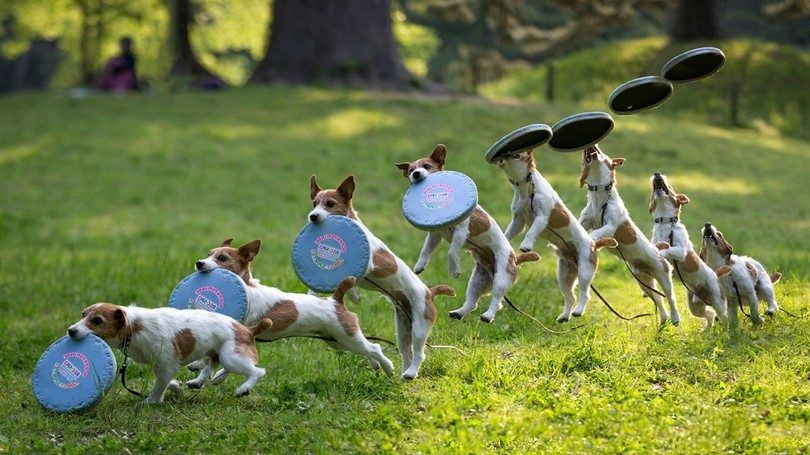 Best frisbee dogs: top 6 breeds that love playing frisbee