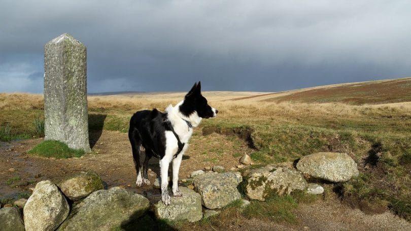 Border Collie hiking