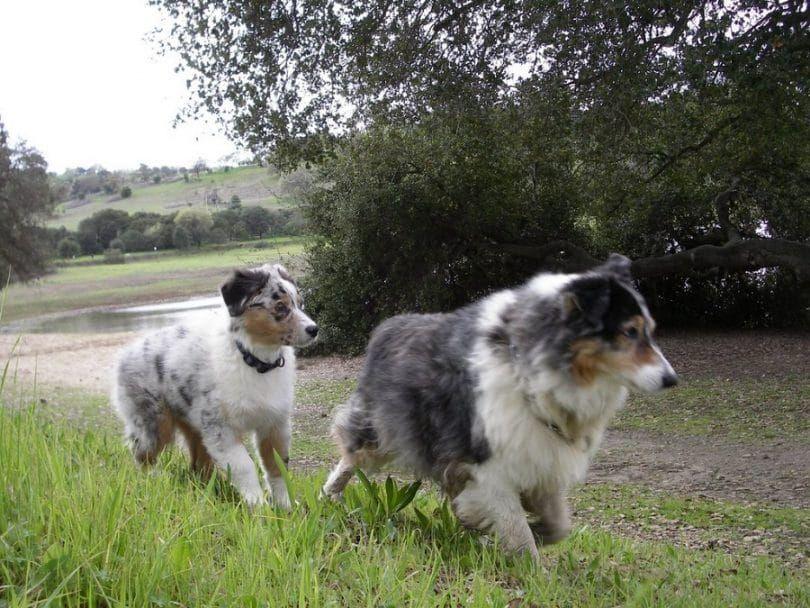 Australian Shepherds hiking