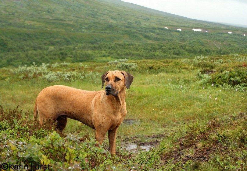 Rhodesian Ridgeback on hiking