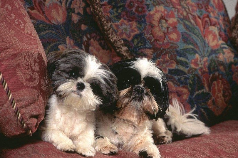 Best indoor dogs: top breeds that adapt well to small living spaces
