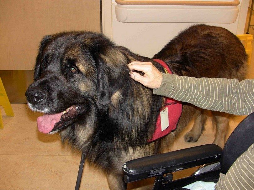Big therapy dog