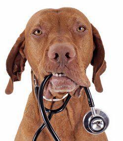 Vizla dog with stethoscope