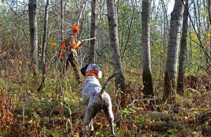 Bird hunting dog breeds: your best help during hunting season