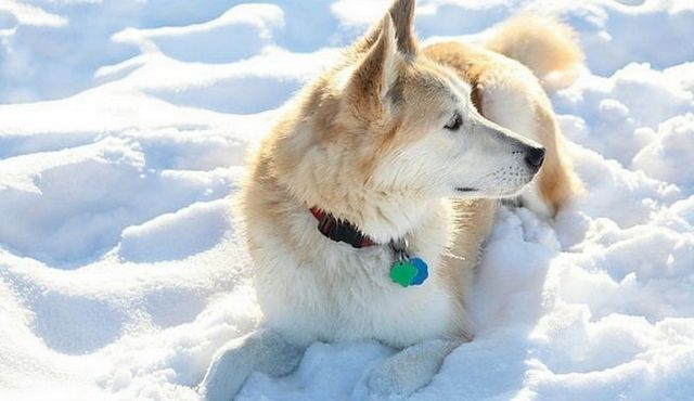 Bold and beautiful: a look at the golden retriever husky mix