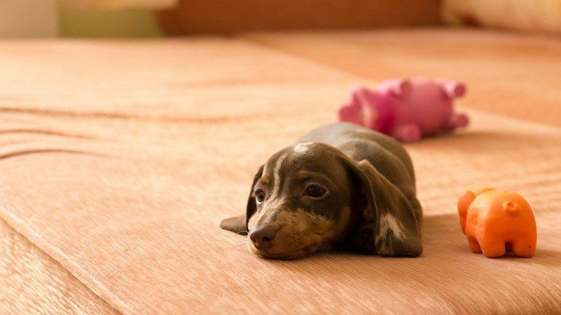 Dachshund puppy on the bed