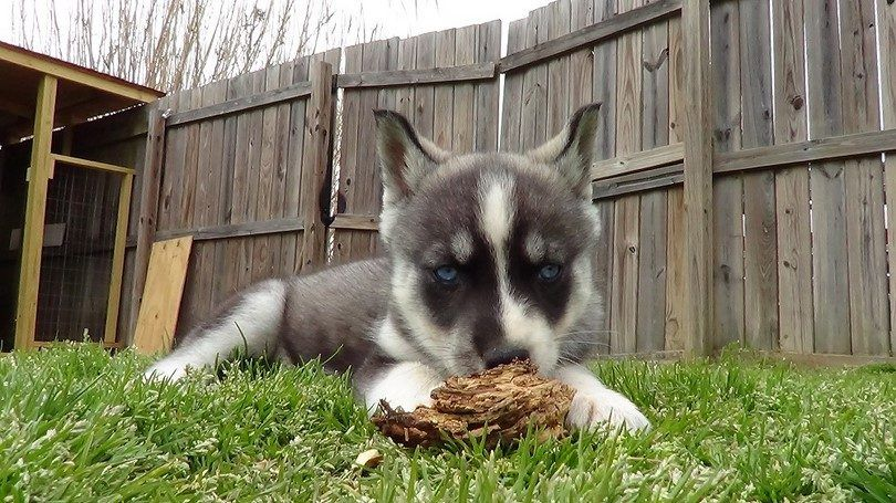 Young Husky playing