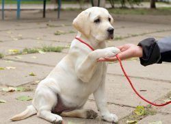 A Yellow Lab puppy being trained to give their paw