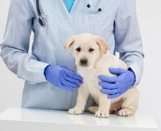 A labrador puppy being held by a vet in blue