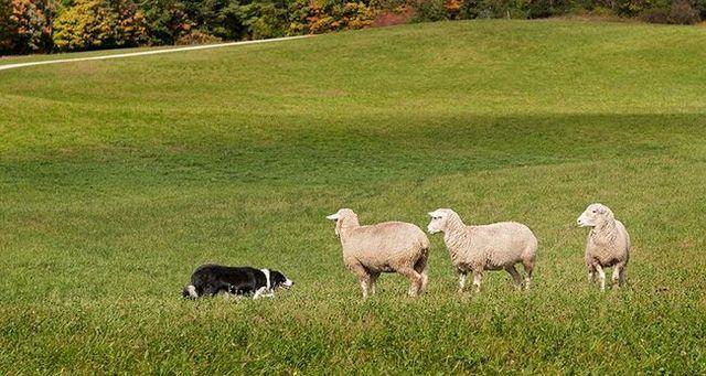 Dog with sheep