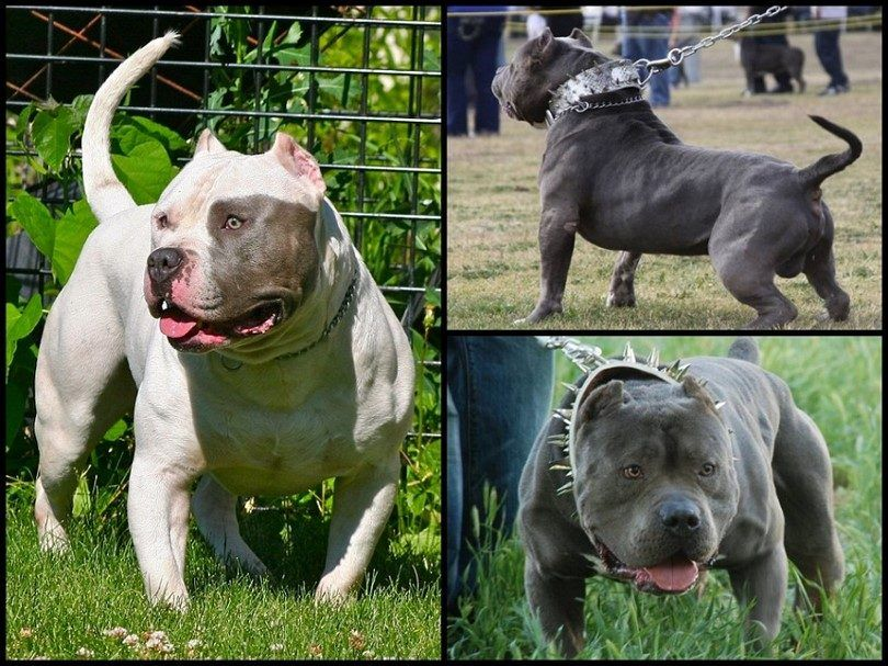 Bully dog breeds: loving dogs with unfair reputations