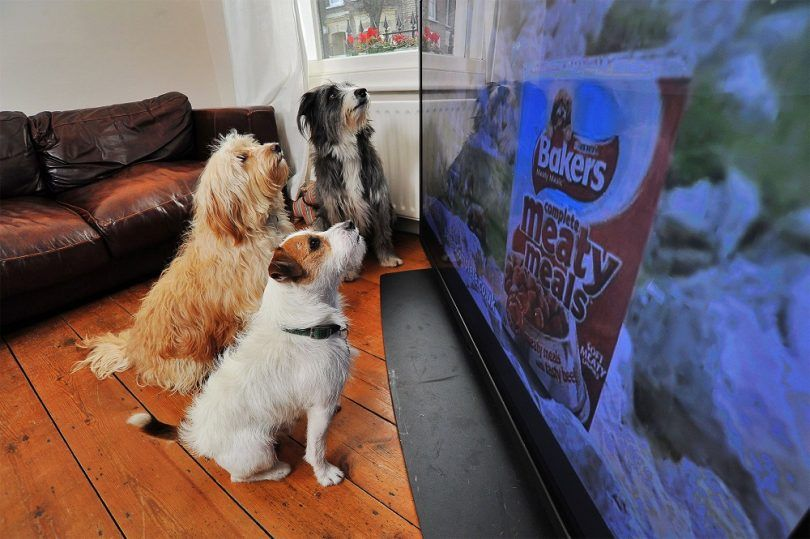 Can dogs watch tv: when fido has a favorite show