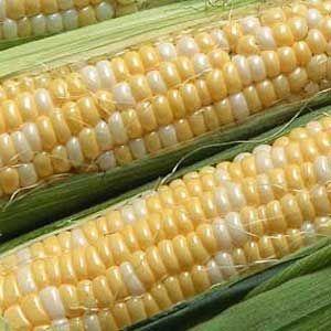 Can I give my dog corn?