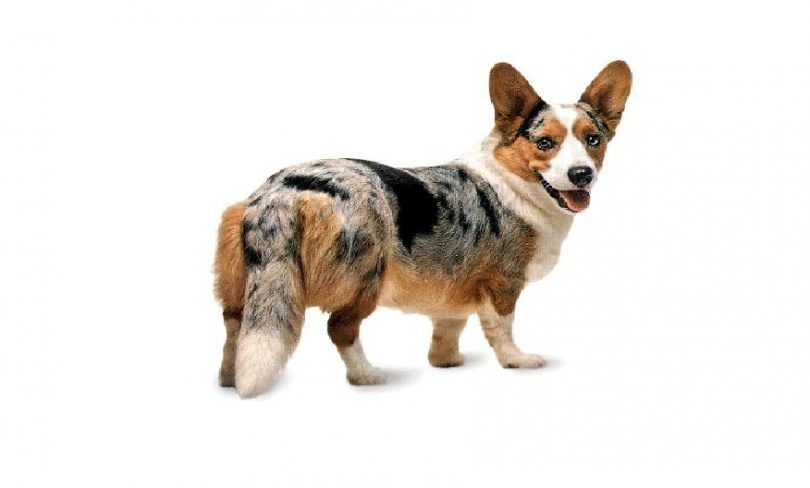Cardigan welsh corgi