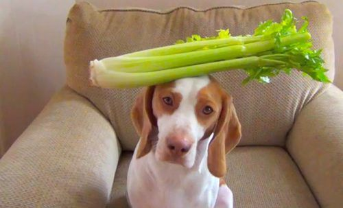 Celery for dogs. Is celery good for dogs? Is it safe?
